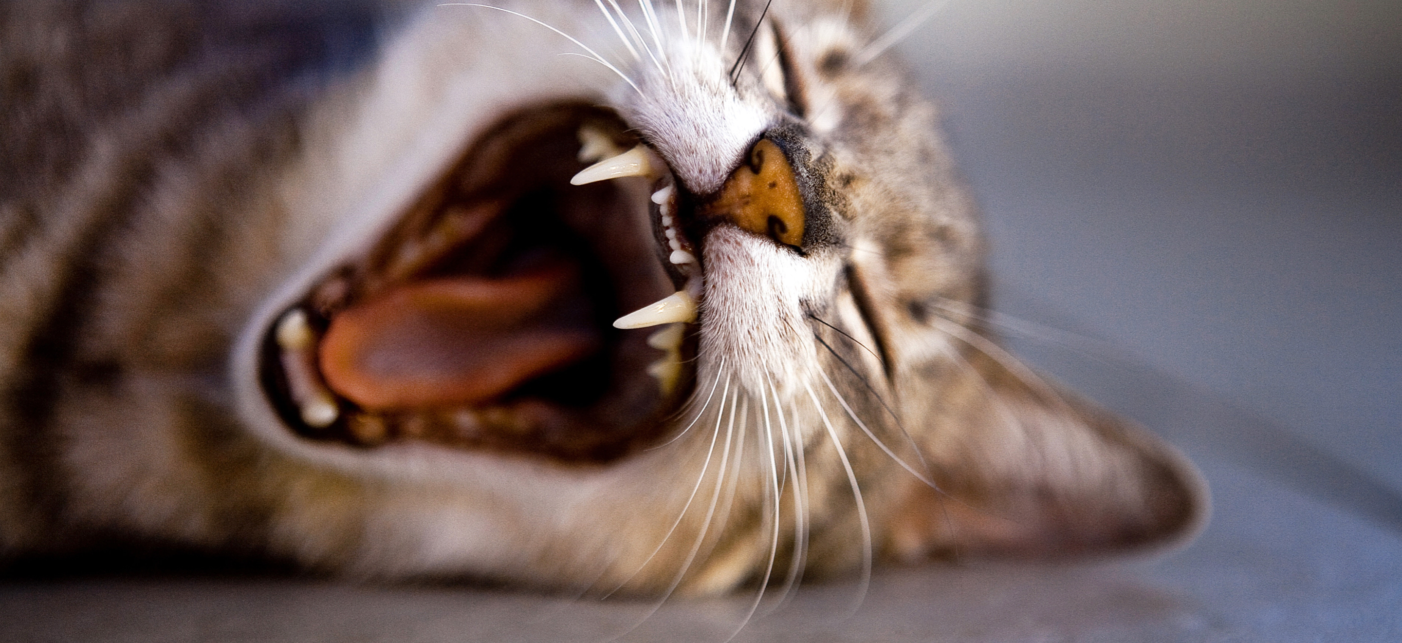 Pet Dentist - Caring for Your Cat or Dogs Teeth