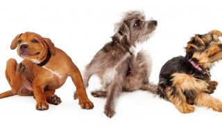fleas and mites in dogs